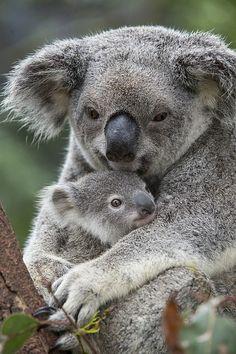 (via Koala Mother Holding Joey Australia by Suzi Eszterhas)