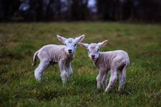 Two newborn lambs - not even one day old when this photo was taken herald the arrival of spring in Ireland!