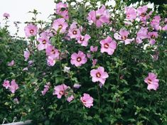 Rose of Sharon... my favorite tree ever... We transplanted these from KY to NC and grew from a sprout to 8 ft tall.  Require full sun, and NO care!  Great for privacy.  I'm going to transplant more for privacy along a bamboo fence in the front yard.