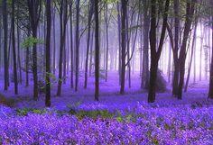 Jacinthe des bois en tapis !