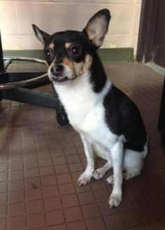 """West Hartford Animal Control added 4 new photos. June 2 ·  06/02/16: This little dog was found on 05/31/16, in the area of South Highland Street and Farmington Avenue in West Hartford. We are looking for its owner. We have nicknamed him """"Bruiser"""". He is a Chihuahua mix approximately 1-2 years old. If no owner comes forward, he will be available for adoption after ADOPTED 06/09/16. If you are missing this dog or may know the owner, please contact us at 860-570-8818. -West Hartford Animal Co"""