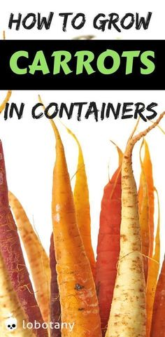 How to grow carrots in containers | container gardening | grow food on your balcony garden | urban gardening | gardening ideas | vegetable garden | #lobotany #carrot #gardening #urbanvegetablegardening
