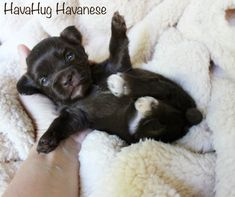 Adorable Chocolate Teddy Bear Puppy from HavaHug Havanese!   www.havahughavanese.com