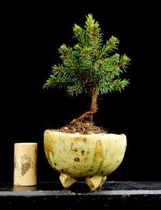 Pot: www.akzentschalen.de Plant: www.bonsai-werkstatt-fendrich.de Akzentschale Beistellschale Kusamono Accent Bonsai Bonsaï Pot 020414