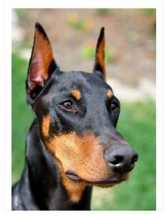 Doberman Dogs, Doberman Pinscher, Doberman Ear Cropping, Service Dogs, Fur Babies, Cute Animals, Military Service, Pets, Dog Stuff