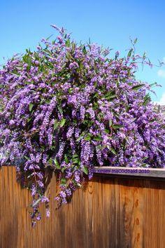 Australian Sarsparilla, False Sarsaparilla, Happy Wanderer, Coral Pea, Lilac Vine (Hardenbergia violacea)