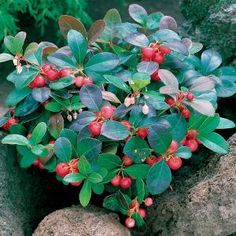 Grow Wintergreen seeds for this creeping ground cover plant that has lustrous evergreen leaves and white bell-shaped flowers. Sow this ground cover seed after a cold treatment. Organic Soil, Organic Gardening, Gardening Blogs, Vegetable Gardening, Shade Garden, Garden Plants, Flowering Plants, Garden Seeds, Evergreen Groundcover