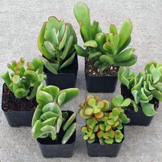 Jade Succulent Collection: A selection 6 different Crassula Jade plants. Great for container gardens, indoor use, and succulent wreaths. These plants are drought tolerant, but most are not frost hardy