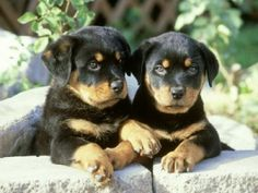 Rottweiler Puppies...cutest puppies EVER...and labs, top 2 cutest.