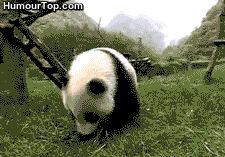 Top 32 des gifs animés drôles & mignons de pandas et bébés pandas