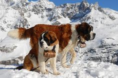 The St. Bernard is a breed of very large working dog from the Italian and Swiss Alps, originally bred for rescue. The breed has become famous through tales of alpine rescues, as well as for its enormous size.