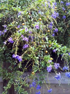 Geisha girl  berries are poisonous to goats and dogs #goatvet  Never feed garden trimmings of this species to goats