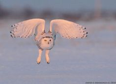 Snowy Owls - HEMMINGS PHOTO TOURS Natures-Photo-Adventures