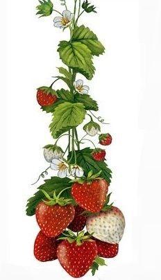 Strawberry Tea, Herbal Tea, Herbalism, Fruit, Plants, Strawberries, The Fruit, Summer Recipes, Cotton