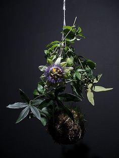 Ethereal Beauty: Fedor van der Valk Discusses His String Gardens: A passionflower vine appears even more exotic in the form of a string garden. To learn more about Fedor's work, go to his site String Gardens.