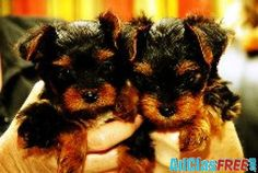 Extremely cute teacup yorkie puppies available for free adoption littlerock - Classified Ads Teacup Yorkie, Teacup Puppies, Yorkie Puppy, Baby Animals, Cute Animals, Cuddle Buddy, Yorkshire Terrier, Pet Birds, Puppy Love