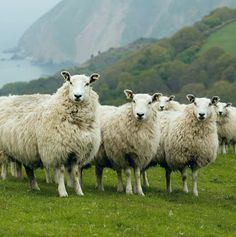 Exmoor Blueface sheep on the hills above Lynmouth, Devon