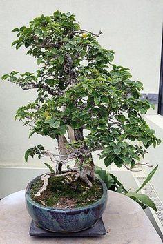Imagem de um bonsai privamera ou bougainvellea, esta espécie é muito cultivada em forma de bonsai por produzir um efeito muito bonito com suas numerosas flores miniaturas durante a época de floração.