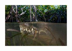 Half-Underwater-Photography-By-Matty-Smith. Your Move: American Crocodile, Jardines de la Reina, Cuba Under The Water, Under The Sea, Underwater Photography, Amazing Photography, National Geographic, Saltwater Crocodile, Underwater Images, Between Two Worlds, Parallel Universe