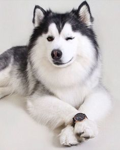 Wonderful All About The Siberian Husky Ideas. Prodigious All About The Siberian Husky Ideas. Alaskan Husky, Siberian Husky Dog, Cute Husky, Husky Puppy, Funny Dogs, Funny Animals, Cute Animals, Alaska Dog, Husky Breeds