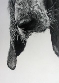 Basset Hound print from an original graphite drawing, Floyd. I love this shot. Baby Dogs, Dogs And Puppies, Doggies, Griffon Nivernais, Petit Basset Griffon Vendeen, Love My Dog, Photo Animaliere, Dog Nose, Bassett Hound