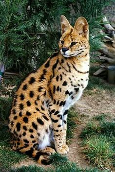 The Savannah is a hybrid domestic cat breed. It is a cross between the serval and a domestic cat. African Serval Cat, Serval Cats, Siamese Cats, Cute Cats And Dogs, Big Cats, Cats And Kittens, Huge Cat, Beautiful Cats, Animals Beautiful