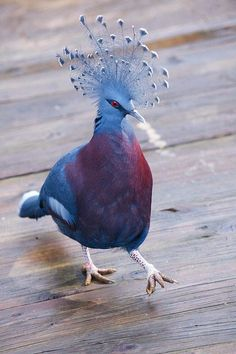 Victoria crowned pigeon rockin' that do. Victoria crowned pigeon rockin' that do. Pretty Birds, Love Birds, Beautiful Birds, Animals Beautiful, Exotic Birds, Colorful Birds, Animals And Pets, Cute Animals, Wild Animals
