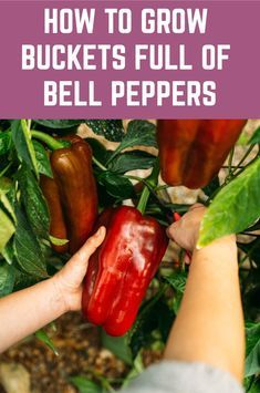How To Grow Buckets Full Of Bell Peppers + Health Benefits &.- How To Grow Buckets Full Of Bell Peppers + Health Benefits & Recipes - Fruit Garden, Edible Garden, Easy Garden, Garden Art, Tomato Garden, Garden Paths, Tomato Trellis, Tomato Cages, Herbs Garden