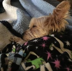 They're bed hogs. | 21 Reasons Why You Should Never Own A Yorkshire Terrier