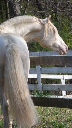 Lusitano stallion Saphiro