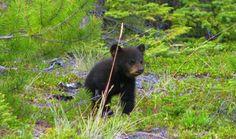 Black Bear exploring near Whitehorse Yukon