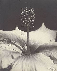Hibiscus Blossom, Gelatin silver print by Man Ray Alfred Stieglitz, Lee Miller, Man Ray Photographie, Arte Yin Yang, Francis Picabia, Gelatin Silver Print, Hibiscus Flowers, Action Painting, Light And Shadow