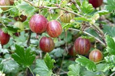 How To Grow Gooseberries, Gooseberry Bush, Indian Home Remedies, Fruit Facts, Sour Foods, Evergreen Shrubs, Plant Sale, Grow Your Own Food, Plantation