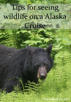 Blog post at Tammilee Tips : One of the best parts of a Alaska cruise is the opportunity to see amazing wildlife. Bears, Seals, Moose, and more can be seen during your A[..]