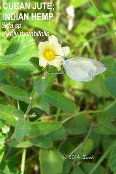 WHAT FLORIDA NATIVE PLANT IS BLOOMING TODAY?: CUBAN JUTE; INDIAN HEMP (Sida rhombifolia) Can be aggressive with abundant seeds. Great nectar source, shown is Barred Yellow Butterfly (Eurema daira)....0814