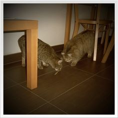 My two cats Billy & Joey play together.