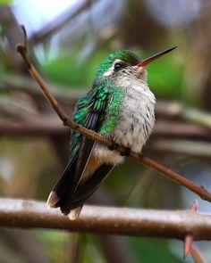 Foto besourinho-de-bico-vermelho (Chlorostilbon lucidus) por André Luiz Briso | Wiki Aves - A Enciclopédia das Aves do Brasil