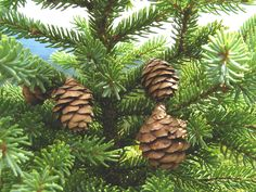 Spruce essential oil comes from the black spruce or Picea mariana, genus in the pine family. Used to treat wounds, stomach ailments, fever and muscle pain.
