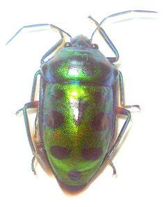 Scutelleridae species from peleng island