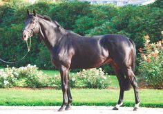 Axxos (GER) 2004 Dkb.h. (Monsun (GER)-Acerbis (GER) by Rainbow Quest (USA) Winner of the 2007 Union-Rennen (GER-G2) & 2008 Premio Ambrosiano (ITY-G3). Stands at Haras de Visais, France.