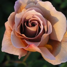 Julia's Rose - a beautiful antique rose
