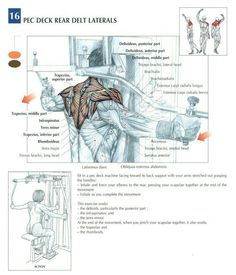 Pectoral muscles  www.yourtrainerwill.com