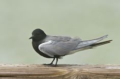 The Elegant Black Tern | BirdNote