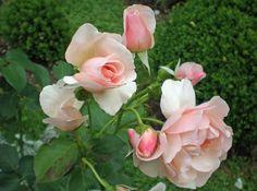 David Austin Rose im Garten