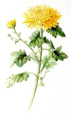 Eun Joo was born in Seoul, South Korea. She had studied Botanical Watercolor at the Corcoran College of Art and Design, Washington D. Chrysanthemum Drawing, Chrysanthemum Flower, Botanical Flowers, Botanical Art, Flower Images, Flower Art, Nature Drawing, Botanical Drawings, Watercolor Flowers