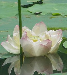 The roots of a lotus are in the mud, the stem grows up through the water, and the heavily scented flower lies pristinely above the water, basking in the sunlight. This pattern of growth signifies the progress of the soul from the primeval mud of materialism, through the waters of experience, and into the bright sunshine of enlightenment.