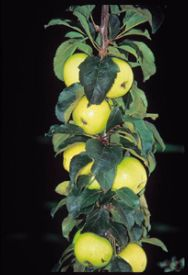 Tall, skinny, potted apple tree. Hmmmm, might have to check this out!