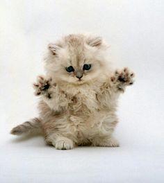 73 Best Munchkin Kittens Images Munchkin Kitten Kittens