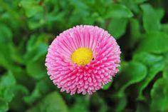 Resultado de imagen de bellis flor