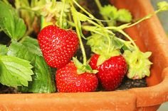 Flowers, vegetables, trees, and lawns - learn how to improve your landscape, control weeds and insects and bring the bounty of your garden to your family's dinner table. Ornamental Plants, Strawberry, Dessert Recipes, Yard, Fruit, Healthy, Gardening, Patio, Lawn And Garden